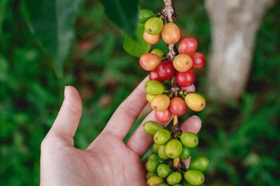 В чём преимущества органического кофе?