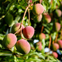 Mango Slices, Organic Terrasoul, 4 oz
