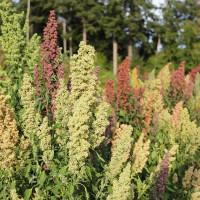 Quinoa, White, Organic Terrasoul